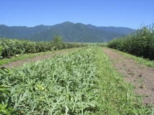育種圃場/スイカ草生栽培