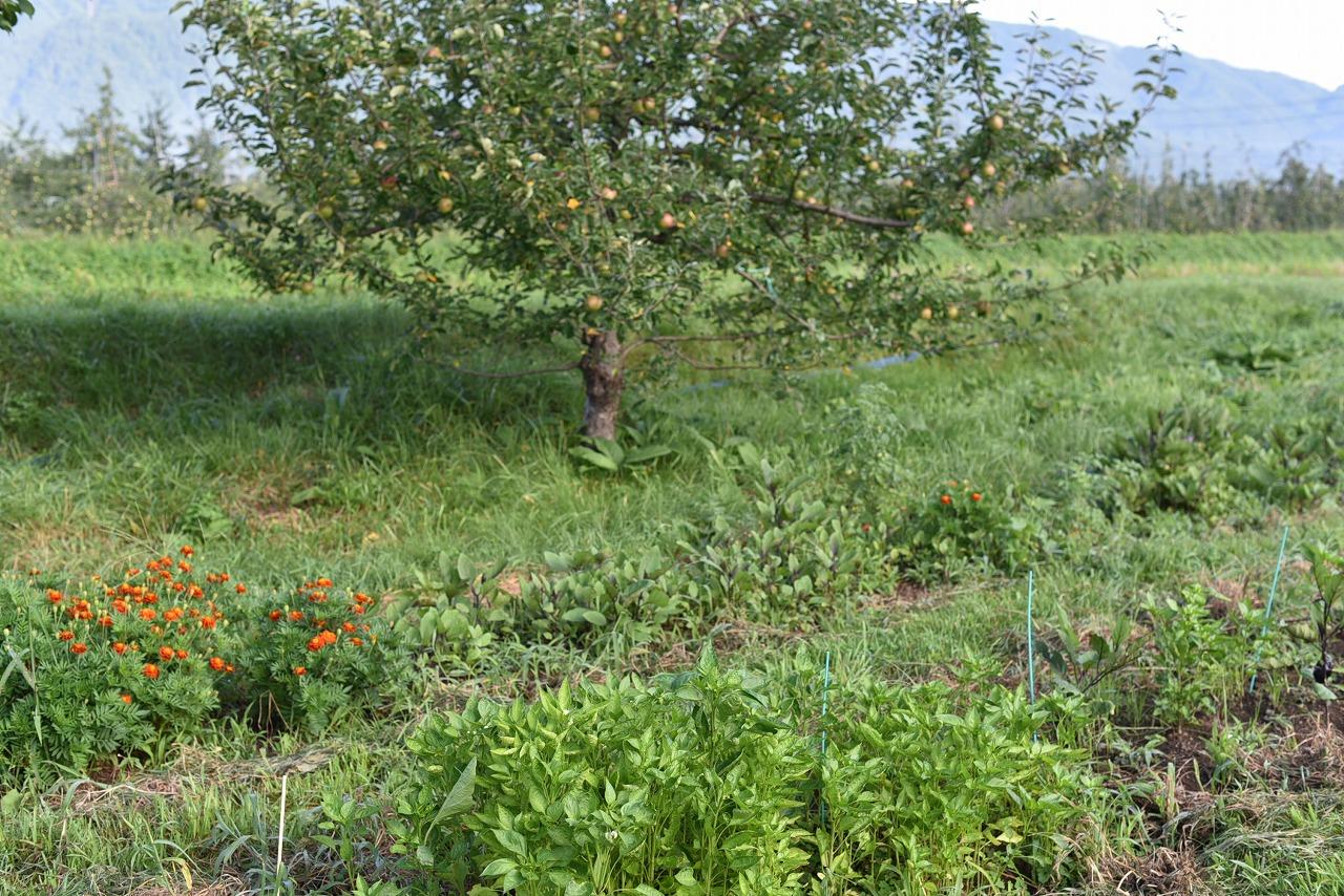 14_自生ナス、ピーマンと自然りリンゴ