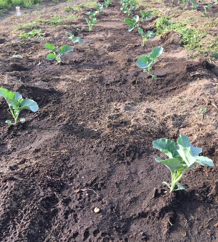茎ブロッコリー定植