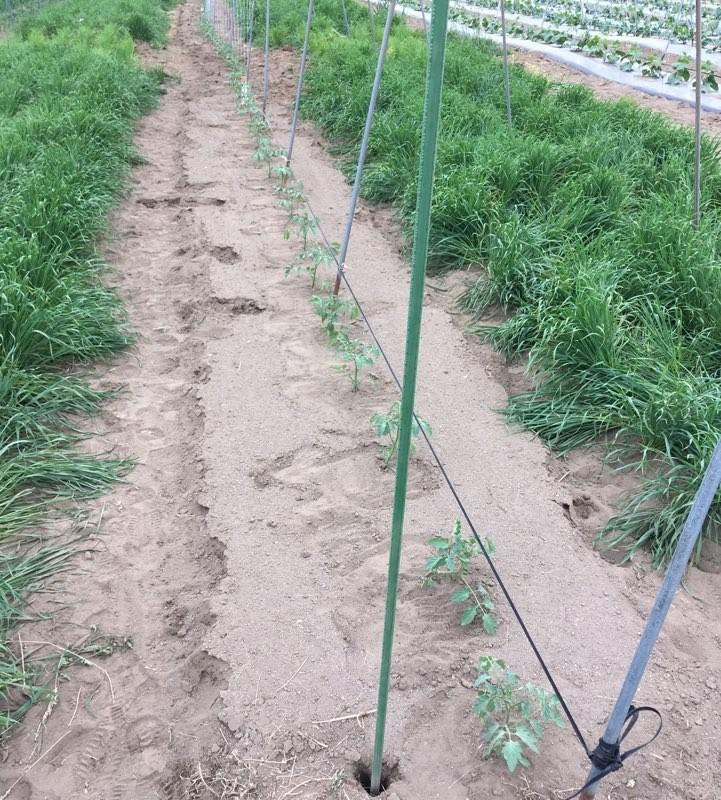 방울토마토 정식후 유인봉 설치