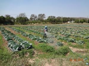 サラブリセンターの栽培風景