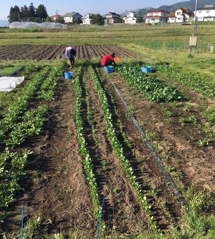 ルッコラ、ミニチンゲンサイ、小松菜収穫