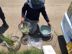 보카시, 비료는 언제뿌려주는지에 따라서 논에 발생하는 잡초의 양의 변화에 대한 설명